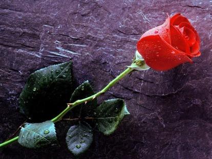 Rosa-Vermelha.jpg