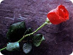rosa-vermelha_thumb